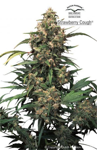 Strawberry Cough - Feminised, Dutch Passion, Cannabis Seeds, Marijuana Seeds, Weed Seeds