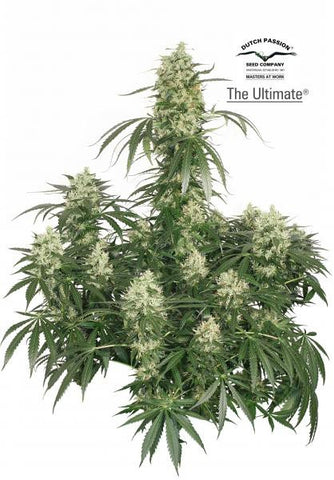 The Ultimate - Feminised, Dutch Passion, Cannabis Seeds, Marijuana Seeds, Weed Seeds