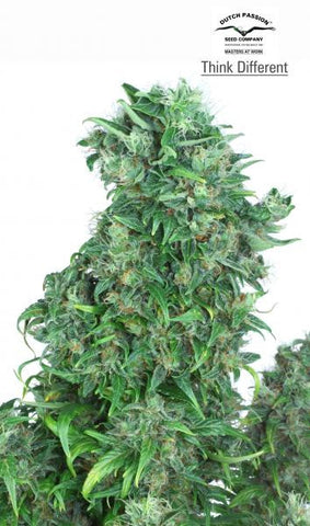 Think Different Auto - Feminised, Dutch Passion, Cannabis Seeds, Marijuana Seeds, Weed Seeds