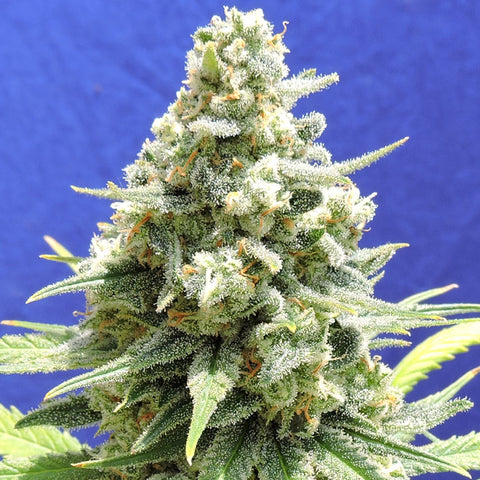 Amnesia Lemon Kush - Feminised, Original Sensible, Cannabis Seeds, Marijuana Seeds, Weed Seeds