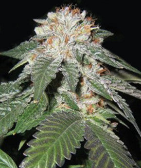 Regulator OG - Regular, Apothecary Genetics, Cannabis Seeds, Marijuana Seeds, Weed Seeds