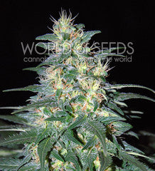 South African Kwazulu - RF, World Of Seeds, Cannabis Seeds, Marijuana Seeds, Weed Seeds