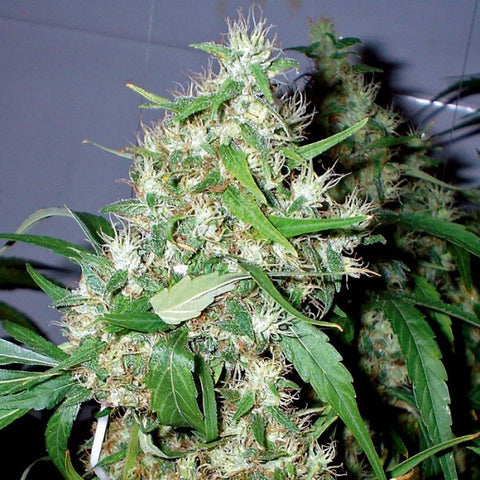 Sour White - Feminised, 710 Genetics, Cannabis Seeds, Marijuana Seeds, Weed Seeds