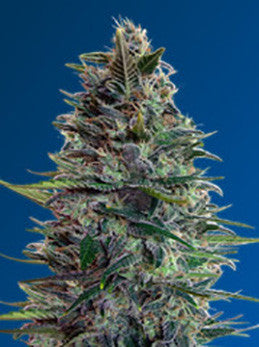 Auto Blue Diesel - Auto/Feminised, Advanced Seeds, Cannabis Seeds, Marijuana Seeds, Weed Seeds