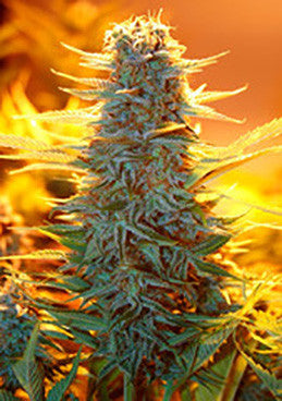 Auto Kaya 47 - Auto/Feminised, Advanced Seeds, Cannabis Seeds, Marijuana Seeds, Weed Seeds