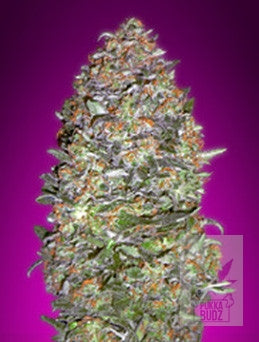Auto NYCD - Auto/Feminised, Advanced Seeds, Cannabis Seeds, Marijuana Seeds, Weed Seeds