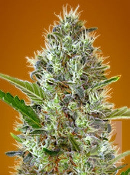 Auto Somango - Auto/Feminised, Advanced Seeds, Cannabis Seeds, Marijuana Seeds, Weed Seeds