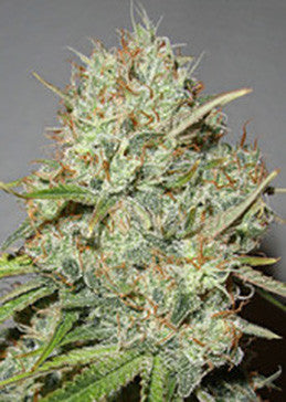 Shark Widow - Feminised, Advanced Seeds, Cannabis Seeds, Marijuana Seeds, Weed Seeds