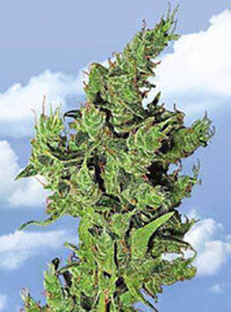 Amsterdam Mist - Feminised, Flying Dutchmen, Cannabis Seeds, Marijuana Seeds, Weed Seeds