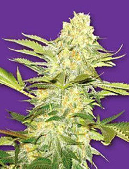 Arctic Sun - Regular, Flying Dutchmen, Cannabis Seeds, Marijuana Seeds, Weed Seeds