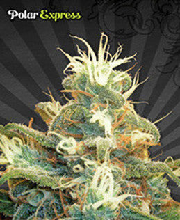 Polar Express - Feminised, Auto Seeds, Cannabis Seeds, Marijuana Seeds, Weed Seeds