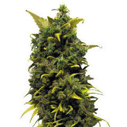 Barney's Blue Cheese - Feminised, Barney's Farm, Cannabis Seeds, Marijuana Seeds, Weed Seeds