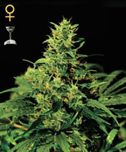 Big Bang - Feminised, Greenhouse Seeds, Cannabis Seeds, Marijuana Seeds, Weed Seeds