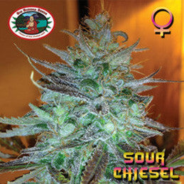 Sour Chiesel - Feminised, Big Buddha Seeds, Cannabis Seeds, Marijuana Seeds, Weed Seeds