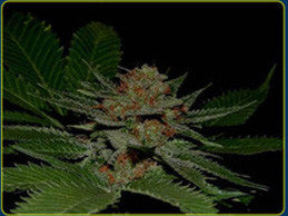 Big Kahuna - Regular, Soma Seeds, Cannabis Seeds, Marijuana Seeds, Weed Seeds