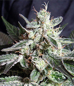 Black Jack Automatic - Auto/Feminised, Sweet Seeds, Cannabis Seeds, Marijuana Seeds, Weed Seeds