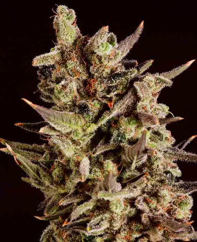 Blueberry Headband x SCBDX - Feminised, Super CBDx Seeds, Cannabis Seeds, Marijuana Seeds, Weed Seeds
