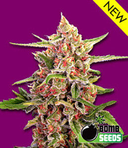Cherry Bomb - Feminised, Bomb Seeds, Cannabis Seeds, Marijuana Seeds, Weed Seeds