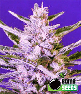 Ice Bomb - Feminised, Bomb Seeds, Cannabis Seeds, Marijuana Seeds, Weed Seeds