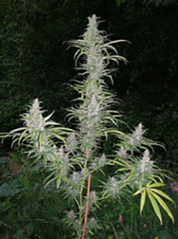 Cali Mist - Regular, British Columbia, Cannabis Seeds, Marijuana Seeds, Weed Seeds