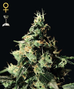Chemdog - Feminised, Greenhouse Seeds, Cannabis Seeds, Marijuana Seeds, Weed Seeds