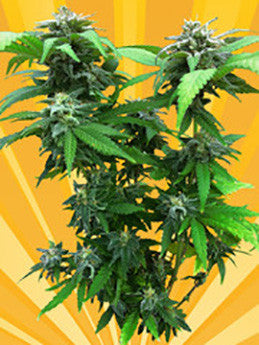 Chunky Skunk - Feminised, Freedom Of Seeds, Cannabis Seeds, Marijuana Seeds, Weed Seeds