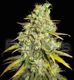 Critical Super Silver Haze - Feminised, Delicious Seeds, Cannabis Seeds, Marijuana Seeds, Weed Seeds
