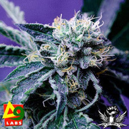 The Merkabah - Regular, Delta 9 Labs, Cannabis Seeds, Marijuana Seeds, Weed Seeds