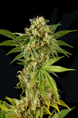Kush n Cheese - Feminised, Dinafem Seeds, Cannabis Seeds, Marijuana Seeds, Weed Seeds