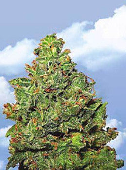 Edelweiss - Feminised, Flying Dutchmen, Cannabis Seeds, Marijuana Seeds, Weed Seeds