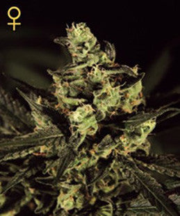 Exodus Cheese - Feminised, Greenhouse Seeds, Cannabis Seeds, Marijuana Seeds, Weed Seeds