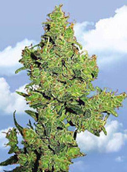 Flying Dragon - Feminised, Flying Dutchmen, Cannabis Seeds, Marijuana Seeds, Weed Seeds