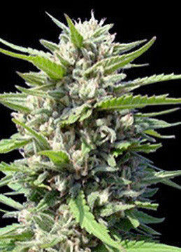 Northern Lights Auto - Feminised, Sensi Seed Bank, Cannabis Seeds, Marijuana Seeds, Weed Seeds