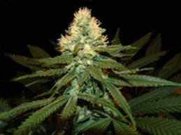 Super Kritical - Regular, Genehtik, Cannabis Seeds, Marijuana Seeds, Weed Seeds