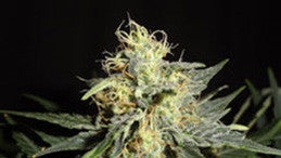 Automatic Mary - Auto/Feminised, Green Label, Cannabis Seeds, Marijuana Seeds, Weed Seeds