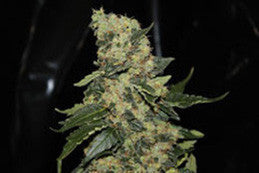 Berry Delight - Feminised, Green Label, Cannabis Seeds, Marijuana Seeds, Weed Seeds