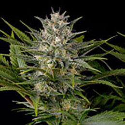 Pineapple Skunk - RF, Humboldt Seed Corporation, Cannabis Seeds, Marijuana Seeds, Weed Seeds