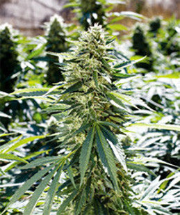 Lemon Diesel - Regular, Emerald Triangle, Cannabis Seeds, Marijuana Seeds, Weed Seeds