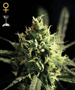 Lemon Skunk - Feminised, Greenhouse Seeds, Cannabis Seeds, Marijuana Seeds, Weed Seeds
