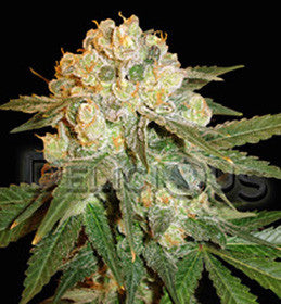 Marmalate - Feminised, Delicious Seeds, Cannabis Seeds, Marijuana Seeds, Weed Seeds