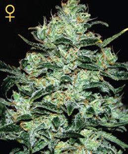 Moby Dick - Feminised, Greenhouse Seeds, Cannabis Seeds, Marijuana Seeds, Weed Seeds