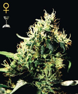 NL5 Haze Mist - Feminised, Greenhouse Seeds, Cannabis Seeds, Marijuana Seeds, Weed Seeds