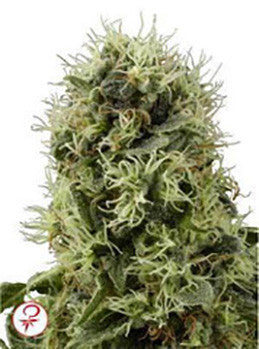 Pure Power Plant - Feminised, White Label, Cannabis Seeds, Marijuana Seeds, Weed Seeds