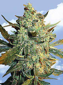 Power Skunk - Feminised, Kannabia, Cannabis Seeds, Marijuana Seeds, Weed Seeds
