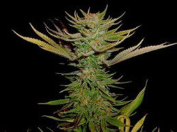 Reclining Buddha - Regular, Soma Seeds, Cannabis Seeds, Marijuana Seeds, Weed Seeds