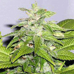 Early Bird Skunk - Feminised, Sagarmatha Seeds, Cannabis Seeds, Marijuana Seeds, Weed Seeds