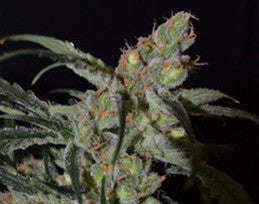 Shark - Feminised, C.B.D. Seeds, Cannabis Seeds, Marijuana Seeds, Weed Seeds