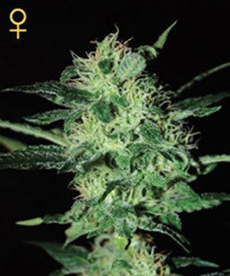 Super Critical - Feminised, Greenhouse Seeds, Cannabis Seeds, Marijuana Seeds, Weed Seeds