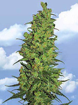 Temple Haze - Feminised, Flying Dutchmen, Cannabis Seeds, Marijuana Seeds, Weed Seeds