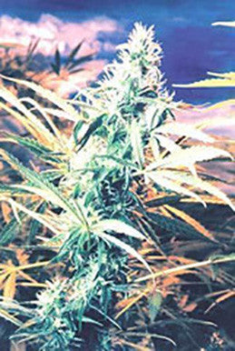 Titan's Haze - Regular, Flying Dutchmen, Cannabis Seeds, Marijuana Seeds, Weed Seeds